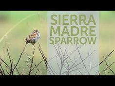 The Sierra Madre Sparrow resembles a smaller Song Sparrow with more rust color in the wings and tear-drop shaped spots on its underside. Song Sparrow, Environmental Issues, Endangered Species, Habitats, Songs, Rust Color, Bird, Wildlife, Drop