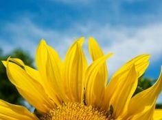 Fondo de Pantalla de pétalos de girasol Flores Naturaleza