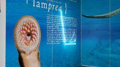La fiesta de la lamprea en Arbo | Metropoli.com