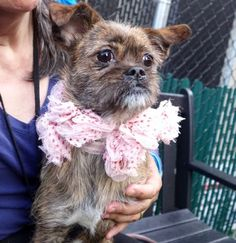 RETURN! ALLERGIE! SAFE JAN? 2017! SUPER URGENT Manhattan center JOY aka BEEPER – A1100968 **RETURNED 04/25/2017** SPAYED FEMALE, BR BRINDLE / WHITE, SHIH TZU / CHIHUAHUA SH, 1 yr, 3 mos RETURN – ONHOLDHERE, HOLD FOR EVENT Reason ALLERGIES Intake condition EXAM REQ Intake Date 04/25/2017, From NY 10466, DueOut Date 04/25/2017,
