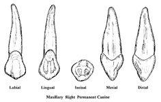 CANINES Teeth Drawing, Human Teeth, Muscular System, Dental Art, Teeth Health, Drawing Skills, Werewolf, Dentistry, Anatomy