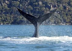A southern right whale shows off in the Hawkesbury River, Australia