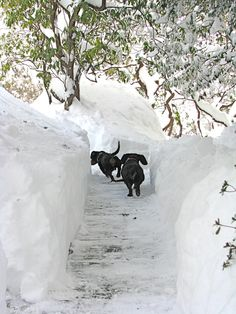 "Doxies playing in a path of snow (note: this would not be my dogs - they don't ""do"" snow!)"