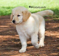 foto cães golden retriever petretrato