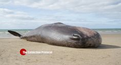 The seventh whale of this year washed ashore on California's Sonoma Coast – 28-foot whale found dead in Portuguese beach