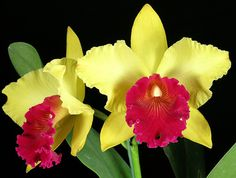 Blc. Alma Kee 'Tipmalee' by David in SWGA, via Flickr