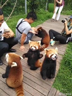 Celebrate Red Panda Day With a Collection Of Adorable Photos C. - Celebrate Red Panda Day With a Collection Of Adorable Photos Celebrate Red Panda - Cute Little Animals, Cute Funny Animals, Cute Dogs, Cute Babies, Fluffy Animals, Animals And Pets, Wild Animals, Photo Panda, Panda Day