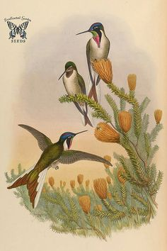 Chuquiraga jussieui. A monograph of the Trochilidæ, or family of humming-birds, vol. 6 (1887) [J. Gould & H.C. Richter]