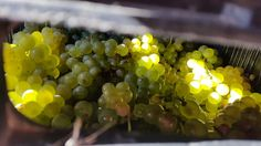 Waiting to be made into wine! Wines, Harvest, Waiting, Bubbles, Fruit, Food, Essen, Meals, Yemek