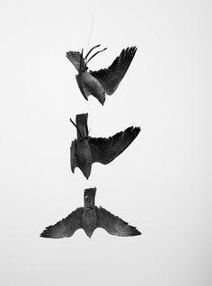 Saker Falcon Triptych ----------------------------------------- 3 separate shots of a diving saker falcon