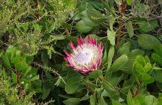 Protea - Jardin exotique de Roscoff