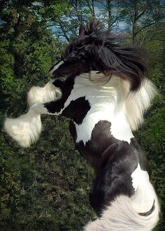 Pinto Gypsy Vanner pinto horse rearing in high spirits. Majestic Horse, Majestic Animals, Gypsy Horse, Most Beautiful Animals, All The Pretty Horses, Draft Horses, Tier Fotos, Horse Pictures, Horse Breeds