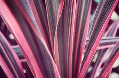 The pink, sword-shaped, statement leaves of Phormium 'Maori Queen'. A popular architectural garden plant, can be grown in a container to limit its tendency to spread. Wholesale Nursery, Autumn Garden, Garden Inspiration, Garden Plants, Container, Leaves, Queen, Popular, Pink