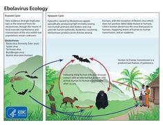 ebola ecology-July.jpg (800×618)