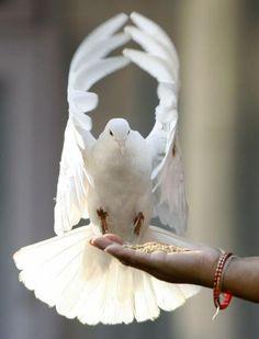 Dove - peace - symbol  of Holy Spirit