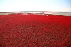 The Red Beach in Panjin, China → The Red Beach is located in the Liao River Delta, Panjin, China, it is regarded as a famous state-level nature reserve. The beach is red due to a kind of grass growing there. Red Beach, Beach Look, Amazing Red, Awesome, Strange Places, World Photography, Photography Awards, China Travel, China Tourism