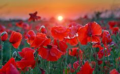 #poppies at dawn in summer countryside