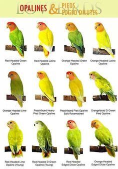 breeding black masked lovebird genetics - Google Search