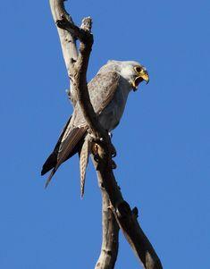 El halcón gris (Falco hypoleucos) Su hábitat natural son las zonas áridas abiertas, como pastizales, matorrales y bosques ligeramente áridos. Es endémico de la mayor parte del territorio continental australiano, con excepción del Cabo York. La mayoría de los avistamientos del halcón Gris han sido dentro de las zonas áridas, con precipitaciones inferiores a 500 mm. Está amenazado por la degradación de su hábitat, causado por los altos niveles de pastoreo y la agricultura.