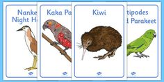 This handy set of display posters feature lovely hand-drawn images of some animals native to New Zealand. Great for teaching your class about NZ wildlife. Flightless Parrot, Teal Duck, Animal Posters, Unique Animals, World's Most Beautiful, Parakeet, Hand Illustration, Bird Species, New Zealand