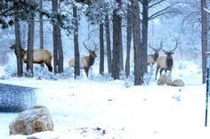 Elk Herds Roam in Ruidoso – Video Ruidoso New Mexico, Bull Elk, New Mexican, Land Of Enchantment, Rocky Mountains, Deer, Places To Go, Wildlife, Old Things