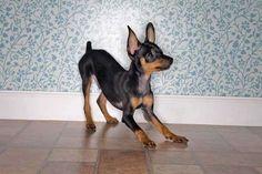 """Esta pequeña raza de perro, es denominada """"Pinscher"""", la cuál constituye la base (o raza primera) del actual Dobermann.  A pesar de la altura de un doberman adulto, casi a la altura de un gran danés, el pinscher es considerado una raza pequeña.  Es elemental la contribución de esta raza en el instinto territorial del Dobermann."""