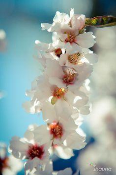 almond blossom.  yum.