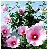 Mugunghwa, the national flower of S. Study Abroad, South Korea, Flowers, Plants, Tattoo Ideas, Travel, Viajes, Korea, Destinations
