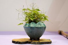 Bonsai Accent Plants - Make sure to visit GardenAnswers.com and download our free plant idenfication app.