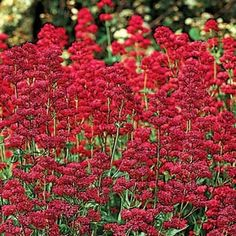 "Keys of Heaven Centranthus ruber coccineus Common Name: Red Valerian, Jupiter's Beard Form: Full Sun 2 - 3' Spread: 2' Spacing: 18 - 24""  Zone: 4 - 8 (-20 degrees F) Blooms With: Blue and White Balloonflower, Liatris, Stokesia, Coreopsis, Daylilies   Removing spent blooms encourages reblooming.       FAVORITE!                                            Botanical Name: Centranthus ruber coccineus   Common Name:  Red Valerian, Ju..."