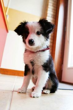 border collie pup chup.