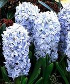 Hyacinthus orientalis Sky Jacket