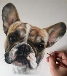 09-French-Bulldog-Bethany-Vere-Colored-Pencils-Realistic-Animal-Drawings-www-designstack-co.jpg 720×822 pixels