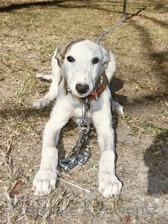 Australian Staghound : australian, staghound, Beautiful, Staghounds