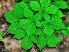 Photo about An American Ginseng plant growing on the forest floor. Image of well, wellness, green - 23596932