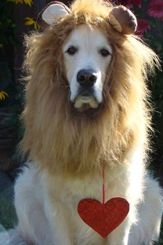 Bentley  posing as the cowardly lion from Wizard of Oz with a heart