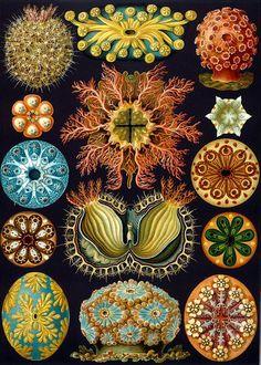 Ernst Haeckel, 1904, Kunstformen der Natur,  Ascidiae (Ascidian).