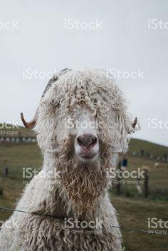 An Angora Goat looks at the camera. Angora Goat, Agriculture Photos, Goat Milk, Image Now, Health Benefits, Goats, Royalty Free Stock Photos, Portraits, Animals