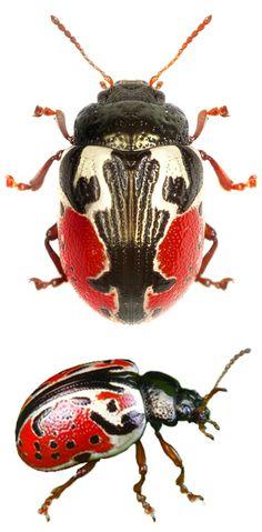 HEXAPODA (Hexápode) - Classe Insecta.  /   HEXAPODA (Hexapod) - Class Insecta.  Calligrapha rowena