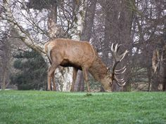 Stag on golf course