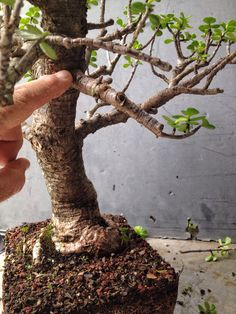 """Here's a tree: It needs trimming, wiring and repotting. Portulacaria afra, Latin meaning """"leaves like a portulaca"""" (which is known as purslane and moss rose) and """"african… Jade Plant Bonsai, Succulent Bonsai, Jade Plants, Bonsai Garden, Cacti And Succulents, Garden Planters, Bonsai Pruning, Bonsai Soil, Bonsai Tree Care"""