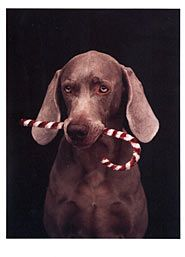 Cane Inside Weimaraner Christmas Cards