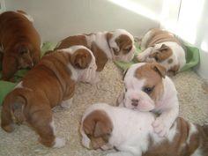 English Bulldog Puppies ~ I'll take them all!