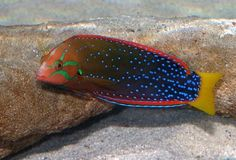 rainbow saltwater fish | Very colorful fish, about 8 inches (20 cm) long, with an orange and ...