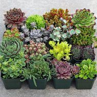 Indoor Succulent Collection (9): A selection of 9 beautiful plants. These succulents work well for low light or indoor environments. Selection is our choice, but will often include Haworthia, Aloe, Po