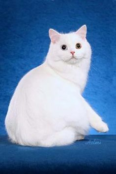 Cymric cat - Marshmellow!!!!!