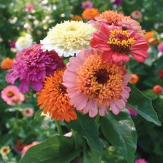 Candy Mix Zinnias. The more you cut, the faster new buds set! Pompon-style blooms with a skirt of longer petals are very distinctive and pretty.