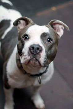 Lena is a silky, smushy, snuggly, sociable girl who loves people, dogs, and, well, just about everything. She is available for adoption through Project Rescue Chicago in Chicago, Illinois.
