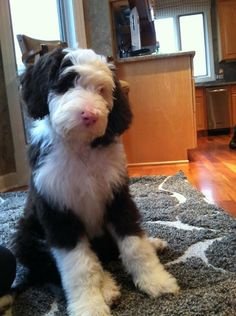 This is someone's Labradoodle Puppy ♥ named Jake. Golden Labradoodle, Australian Labradoodle, Labradoodle Puppies, Goldendoodles, Funny Dogs, Cute Dogs, Schnauzer Grooming, Dog Crossbreeds, Dog Mixes