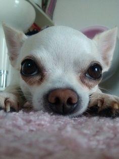 Chihuahua♪. Reminds me of Angel  #chihuahua